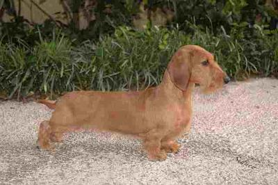 Exquisite example of a Wire Haired Dachshund